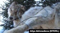 Убитый волк. Алматинская область. Иллюстративное фото.