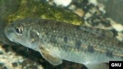 Пескарь (Gobio gobio) обитает только в чистых богатых кислородом реках, но он живет в Яузе, которая достаточно сильно загрязнена