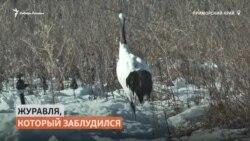 Потерявшегося японского журавля спасли в Приморье