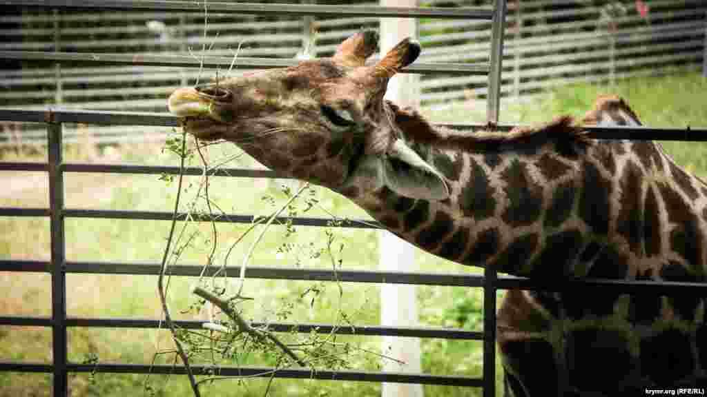 Жираф – найвища тварина на планеті