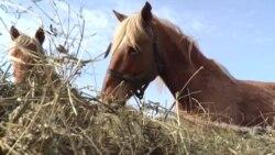 Паводки в селе Кенес унесли три табуна лошадей