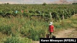 Խաղողի այգի Հայաստանում, արխիվ