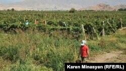 Խաղողի բերքահավաք Հայաստանում, արխիվ