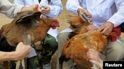 Ընտանի թռչուններին պատվաստում են թռչնագրիպի դեմ, արխիվ