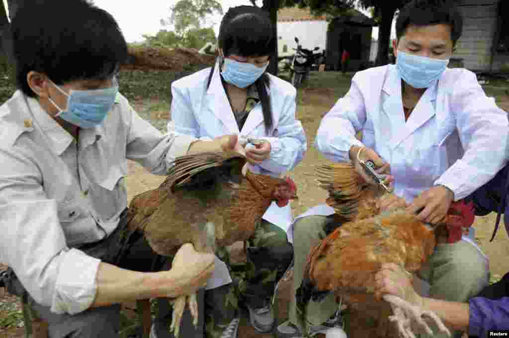 Staff from an animal disease prevention and control center inject chickens with the H5N1 bird flu vaccine in China's Guangxi Zhuang Autonomous Region. Ten people in China have been confirmed to have contracted H7N9, all in the east of the country. (Reuters/China Daily)