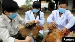 Technical staff from China's animal disease prevention and control center inject chickens with the H5N1 bird flu vaccine in Shangsi county, Guangxi Zhuang autonomous region, on April 3.