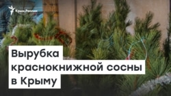 Вырубка краснокнижной сосны в Крыму   Доброе утро, Крым!