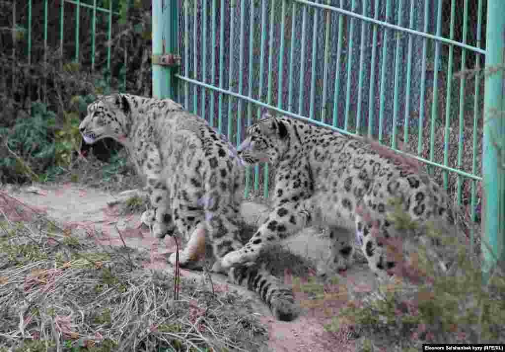 Snow leopards at a rehabilitation center in the Issyk-Kul region of Kyrgyzstan