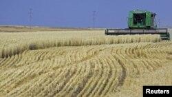 Уборка урожая пшеницы. Акмолинская область, 11 октября 2011 года.