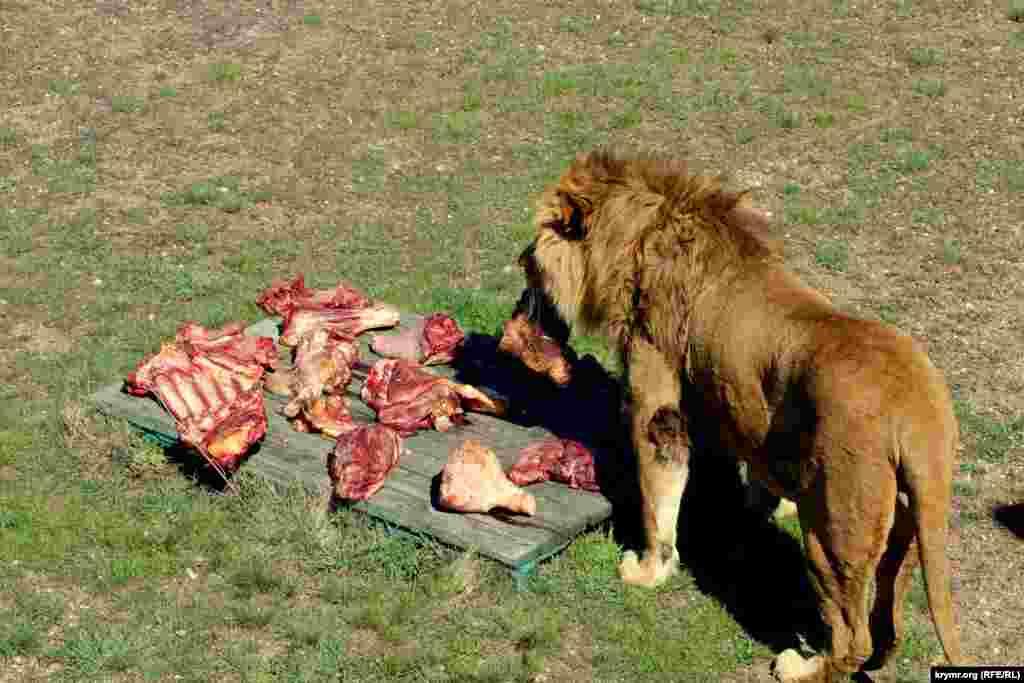 Сотрудники парка приготовили львам около 200 кг мяса