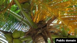 Кокосовая пальма - близкий родственник Тахины замечательной