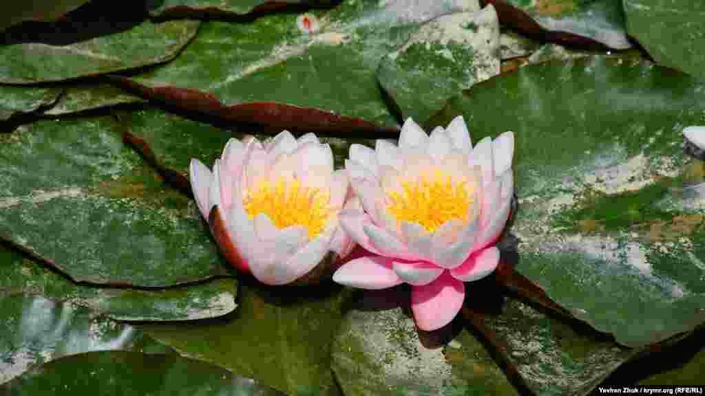 В пруду Оборонного цветут кувшинки