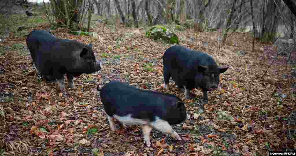 Сімейство в'єтнамських свиней, які живуть у парку