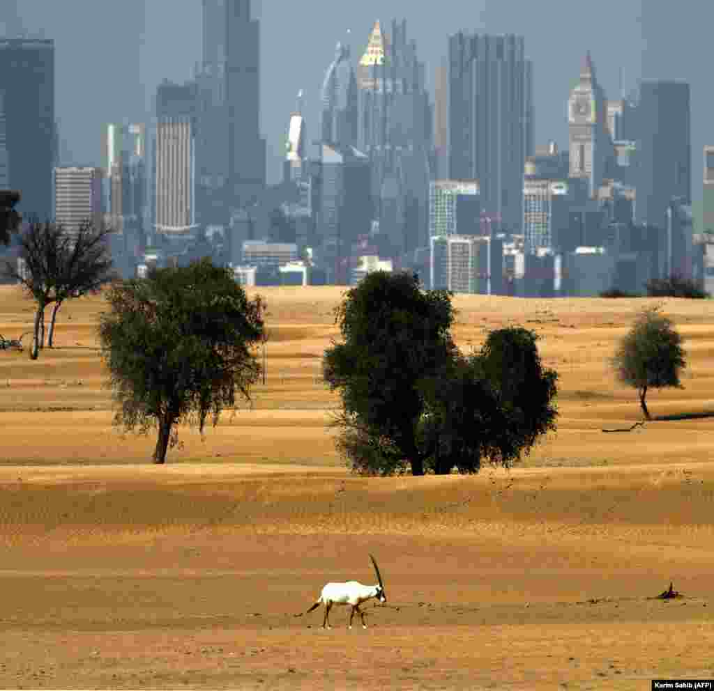 An Arabian oryx on the outskirts of Dubai on March 21.