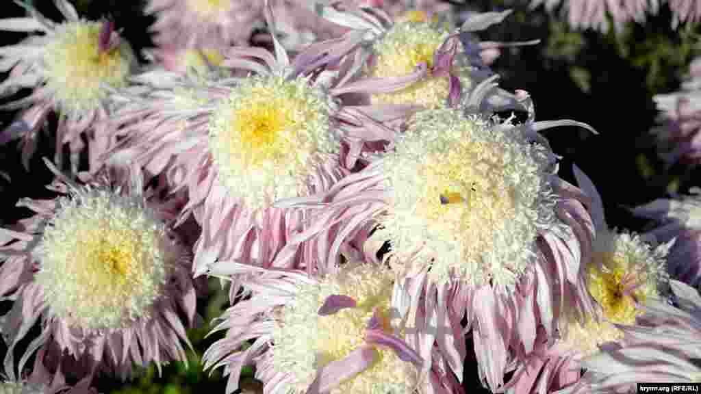 Сорта для финального соревнования отбирали в течение всего бала хризантем – в саду и на его официальном сайте, где можно было проголосовать за понравившийся цветок