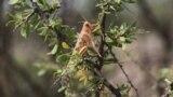 Южные регионы Ирана сильно пострадали от нашествия пустынной саранчи.