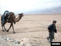 یو افغان کوچي خپل اوښ رهي کړی دی