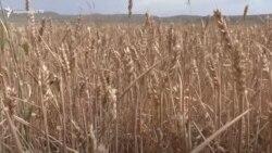 Շիրակ գյուղի բերքը երաշտի պաճառով չորացել է, գյուղացիները վարկի մարման խնդրի առաջ են կանգնել