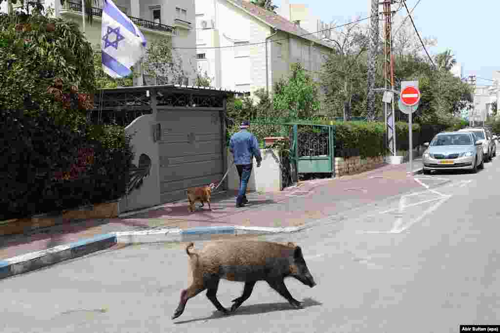A wild boar catches the attention of a dog in Haifa, Israel, on April 5.