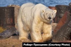 Медведица на Диксоне. Фото Роберта Прасцениса
