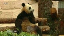 Пандаҳои чинӣ муқими Боғи ҷонварони Маскав шуданд