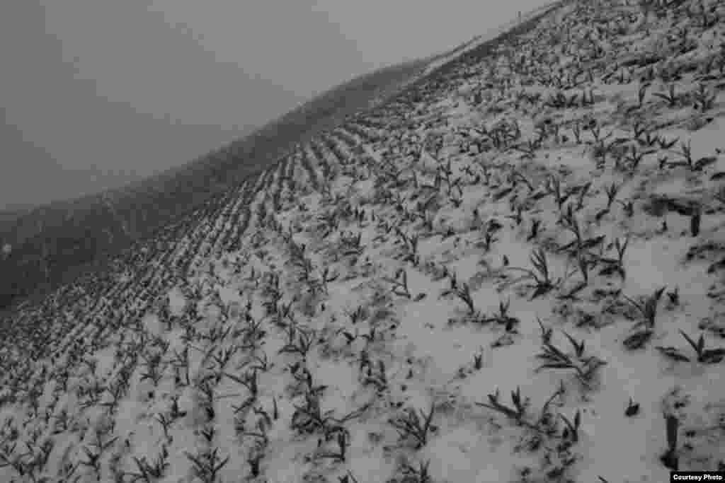 Ала-Тоодо гүлдөгөн Голландия жоогазындары - Кар астындагы жоогазындар