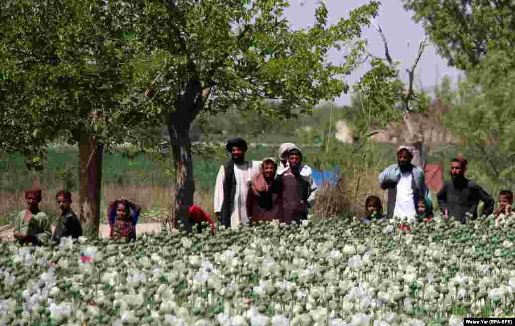Afghan farmers look on as authorities destroy poppy fields in Nad-e Ali district of Helmand Province on April 1. (epa-EFE/Watan Yar)
