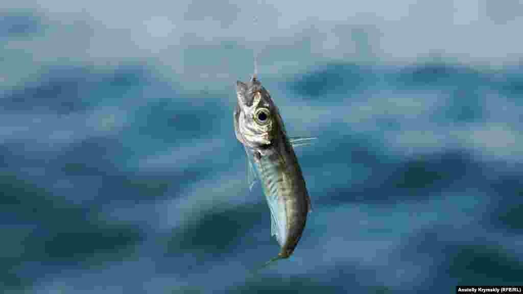 Основной улов алуштинских рыбаков – маленькая ставридка