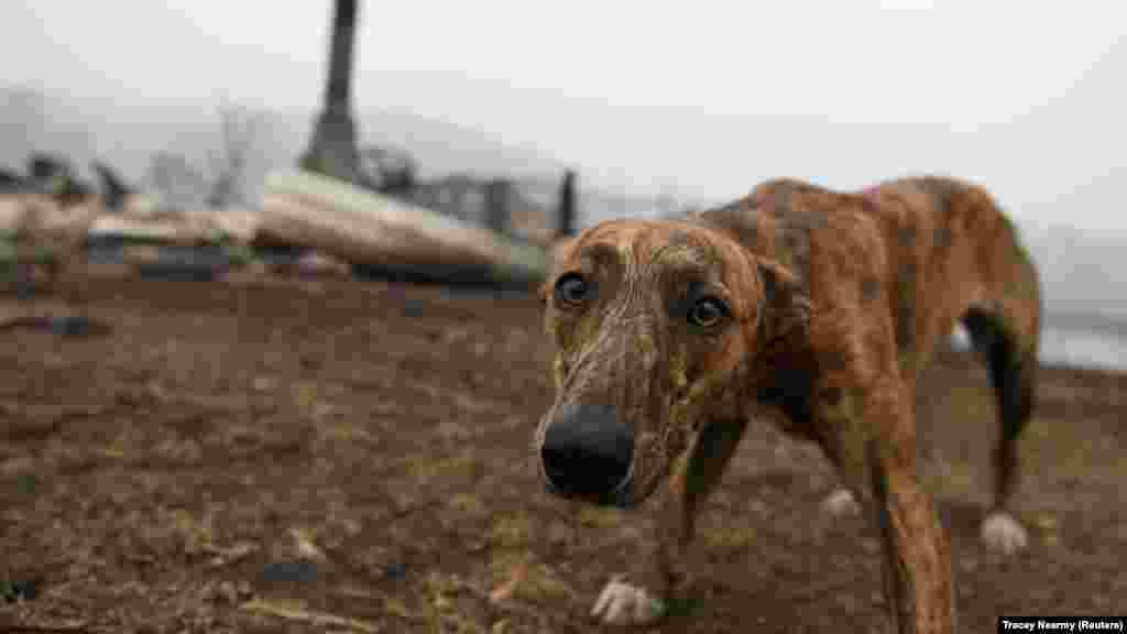 Собака возле сгоревшего дома своих хозяев в городе Киа. 8 января 2020 года