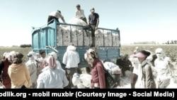 Өзбекстандағы мақта терімі.