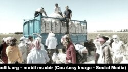 The Uzbek cotton harvest (file photo)