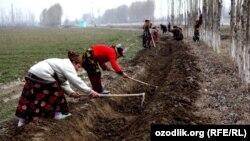 Uzbekistan - charwomen are working in the wheat field, 25Mar2012
