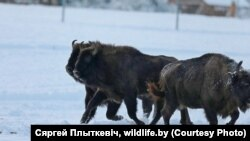 Фота Сяргея Плыткевіча для сайту wildlife.by, зьмешчанае са згоды аўтара.