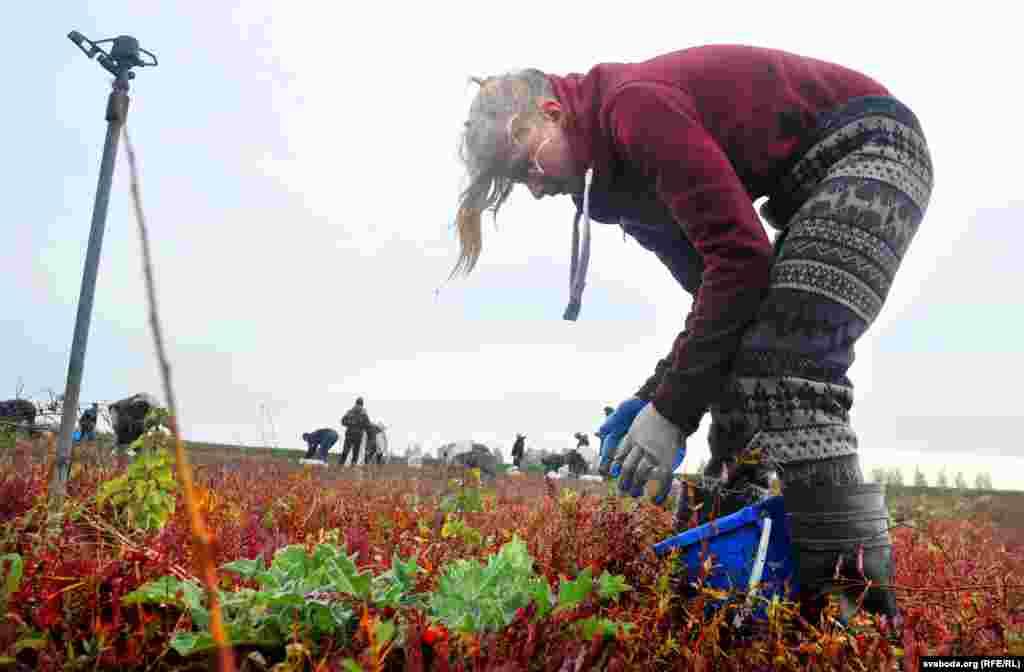 Работа тяжелая, для сбора ягоды набирают рабочих в Пинске и соседних деревнях.
