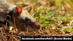 Гамбийская сумчатая крыса ищет мину