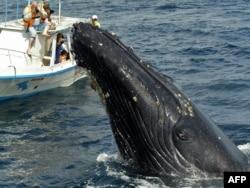 نهنگ آبی با ۳۰ متر طول بزرگترین موجودیست که بر زمین زیسته و از جمله گونههای در معرض تهدید است. شاهنهنگ یا نهنگ عنبر با ۱۸ متر طول بزرگترین شکارچی دنداندار روی زمین است