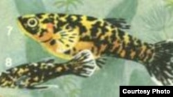 Гирардинусы – красивые аквариумные рыбки с асимметрией мозга