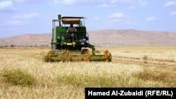 حصاد الحنطة والشعير في محافظة نبنوى