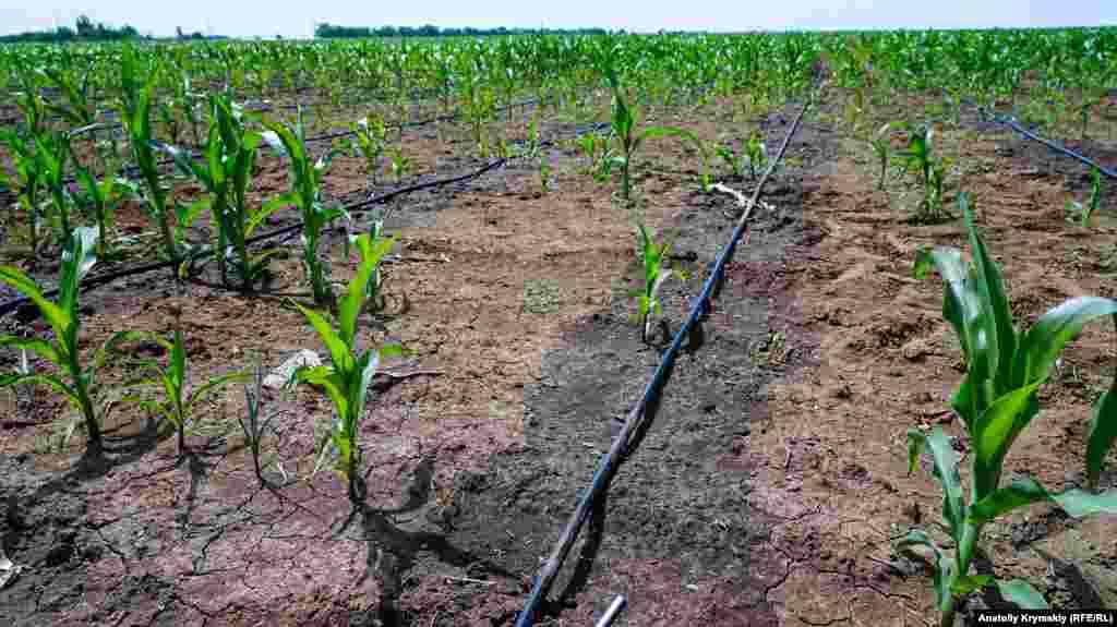 Кукурудзу намагаються врятувати поливом зі свердловин. Після висихання на поверхні ґрунту залишається сіруватий сольовий наліт