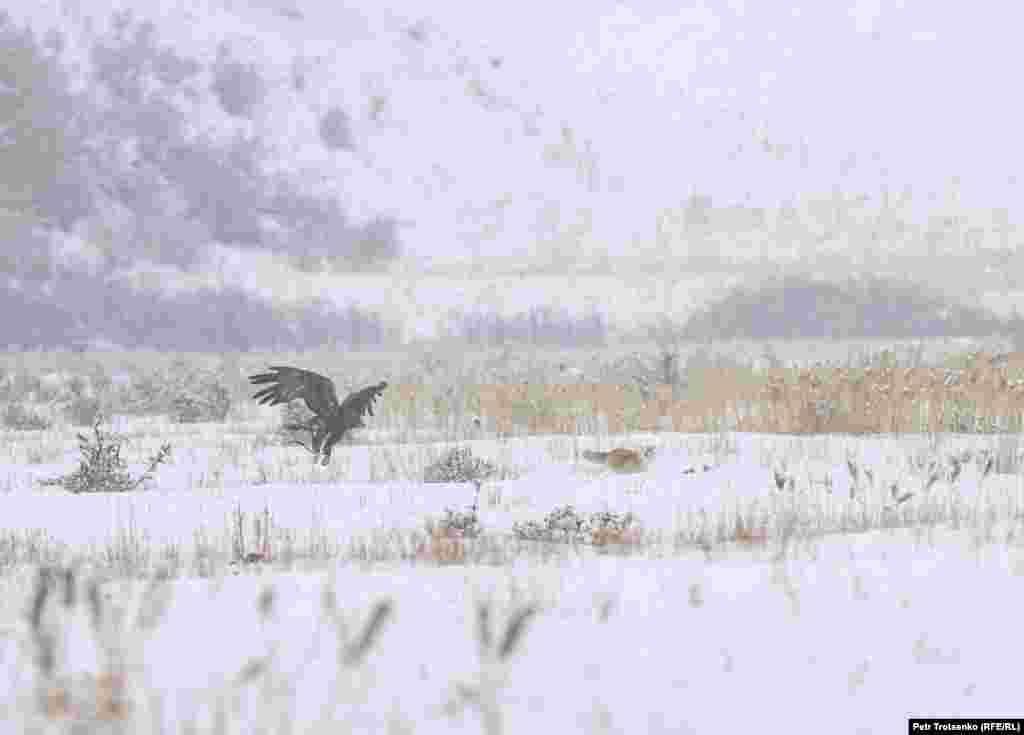 Ще одне завдання: полювання на лисиць. Беркутчі розподіляються на пагорбі, а в декількох сотнях метрів від них випускають лисицю. Птах повинен зловити лисицю, а мисливці повинні встигнути врятувати тварину. На фото беркут наздоганяє лисицю