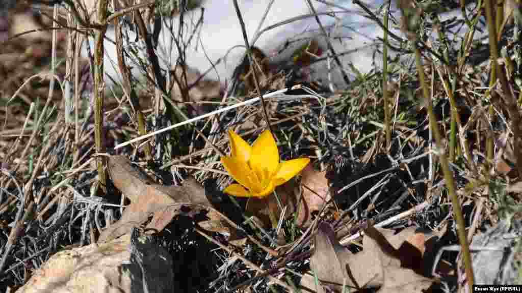 Среди опавших дубовых листьев и травы ярко желтеет цветок крокуса, иначе называемого шафраном