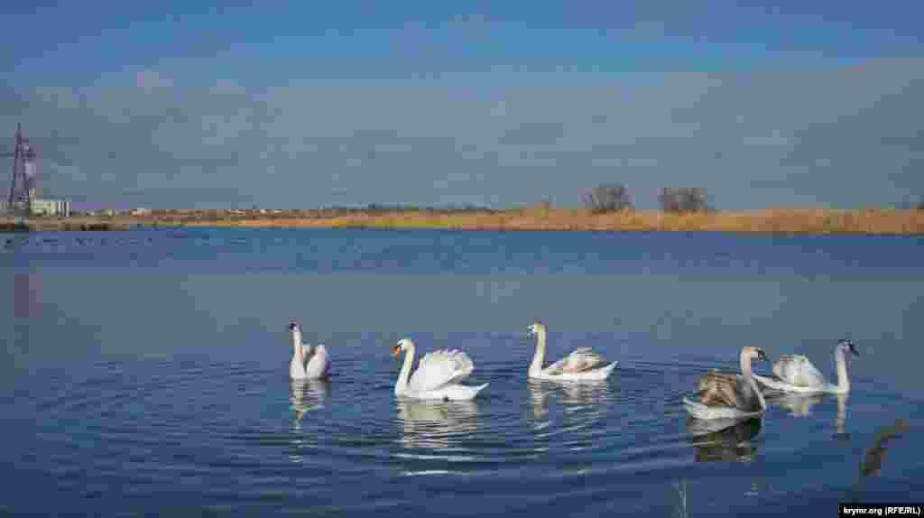 Лебедина зграя на протилежній від траси частини озера поки що близько до людей не підпливає. За цим стежить вожак зграї (другий зліва)