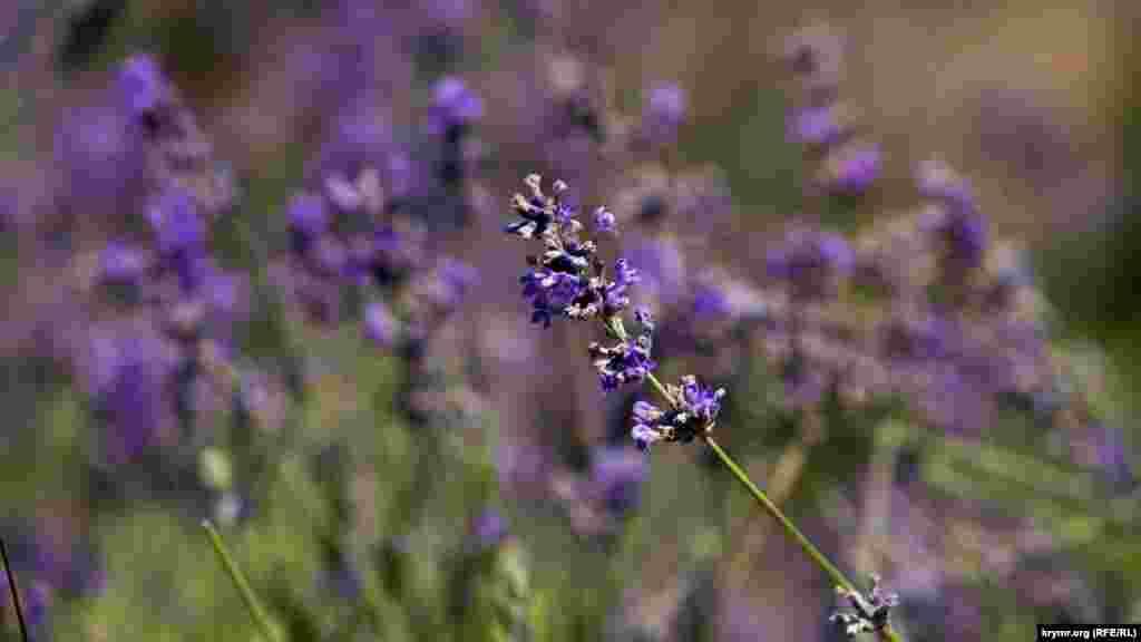 По завершении цветения лаванда пользуется спросом на местных рынках