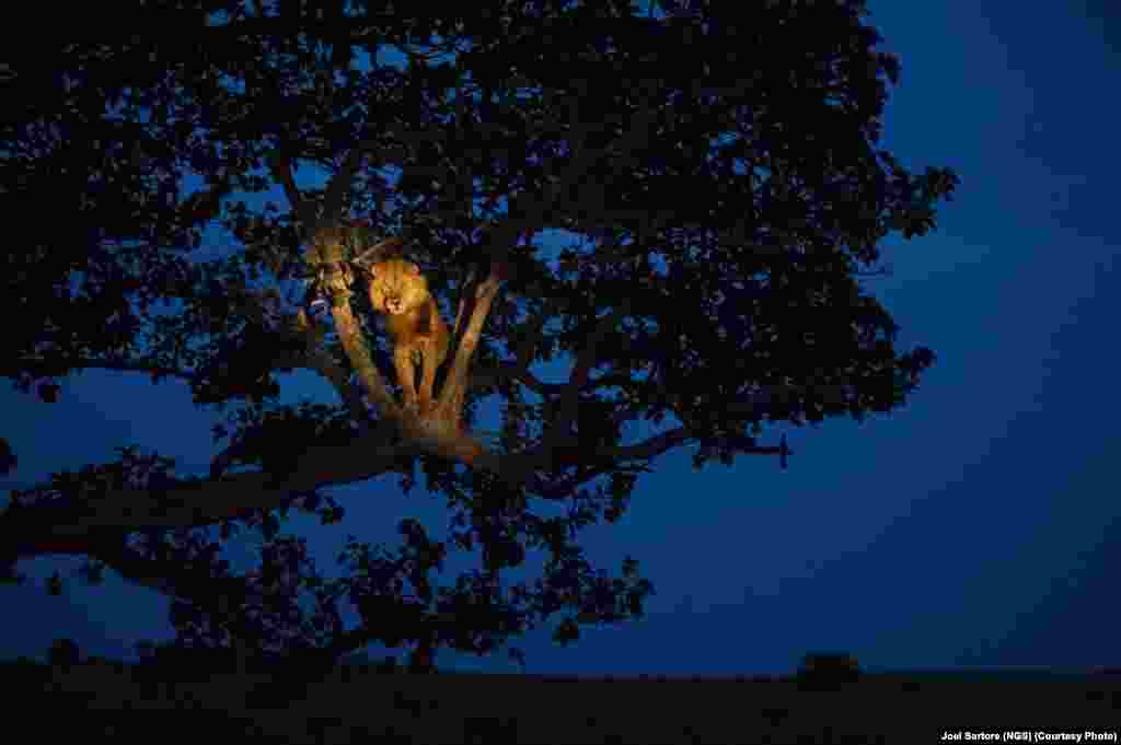 A lion climbs a tree to sleep in Uganda's Queen Elizabeth Park.