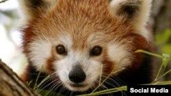 Панда в зоопарке Смитсониан