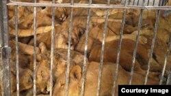 نگهداری دهها شیر در قفسی کوچک در جزیره قشم