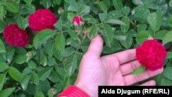 Đulbešećer ruže