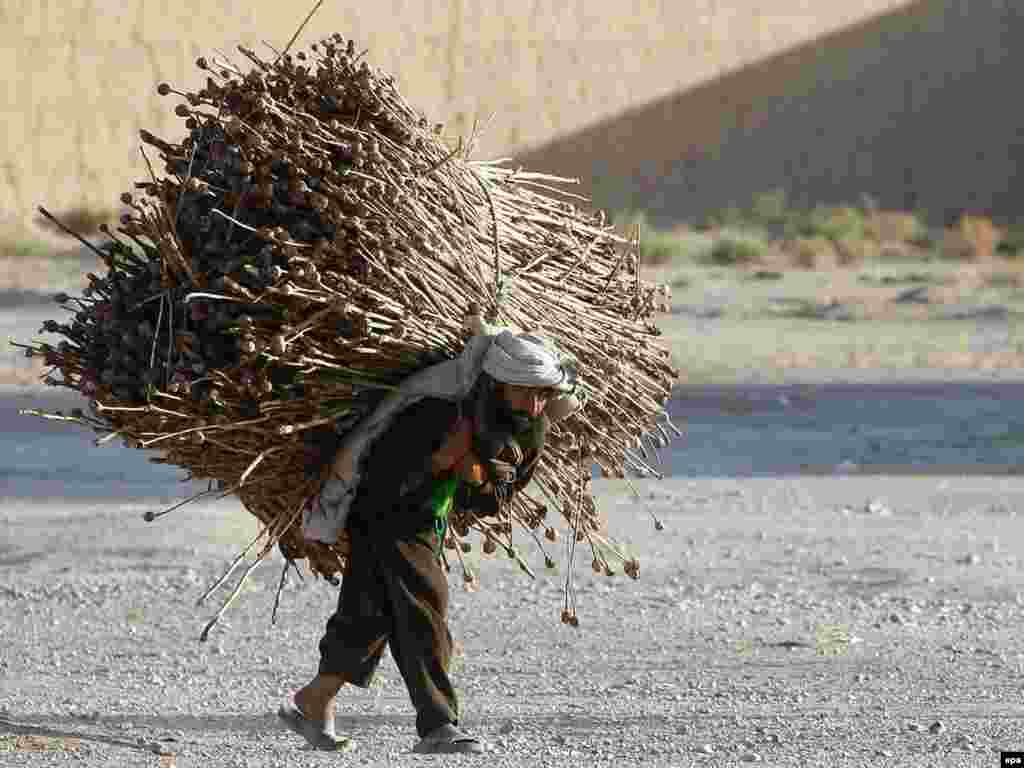 A man carries opium poppies in the village of Bala Baluk in Farah Province, Afghanistan. - Photo by Tiago Petinga for epa