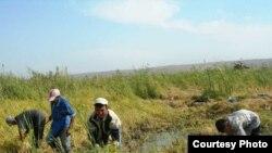 منابع هندی از آلوده بودن برخی مزارع برنج در پنجاب خبر می دهند. عکس تزئینی است.
