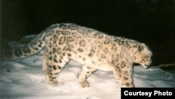 It includes endangered species such as the snow leopard and Bukhara deer, as well as rare antelopes and other animals.